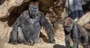 http://coxview.com/wp-content/uploads/2021/01/Animal-Gorilla-Coronavirus.jpg
